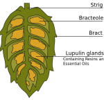 Our Mountain View, CA area patients know that drinking beer made with hops can actually benefit your oral health.